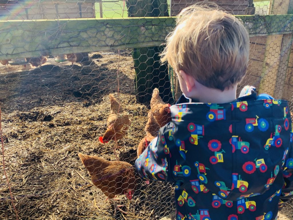 A toddler watching chickens