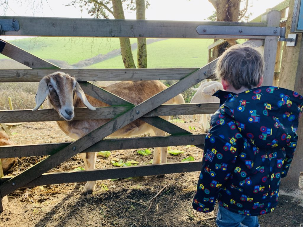 Toddler watching a goat through a gate
