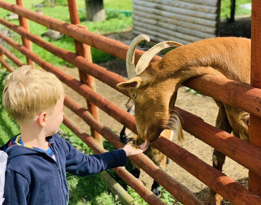 Five year old boy feeding a goat over a fence