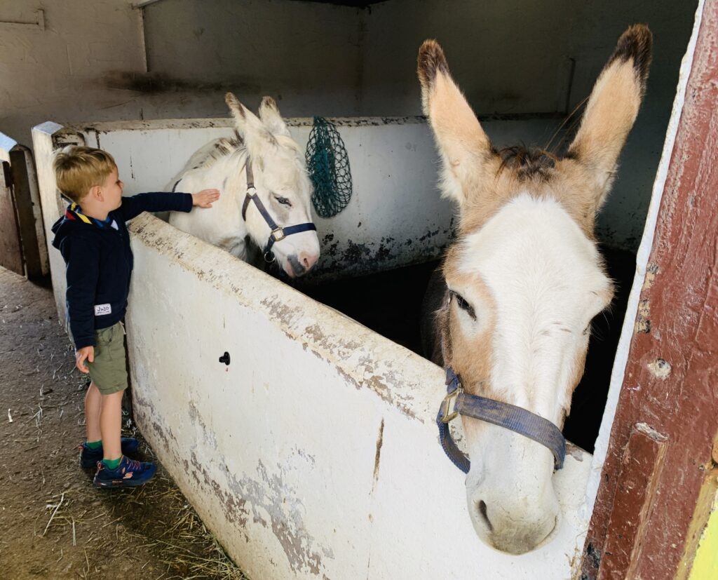 Five year old boy strokes two donkeys in stables