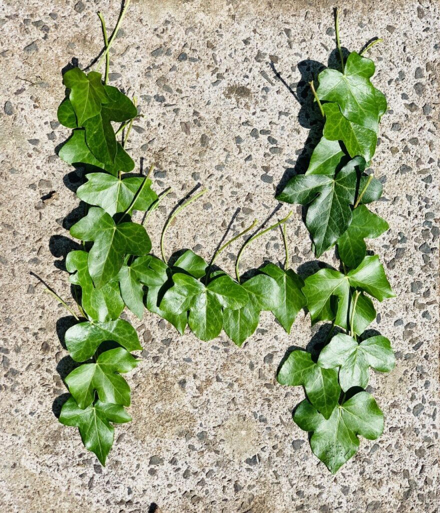 The letter H formed using green ivy leaves on a concrete path