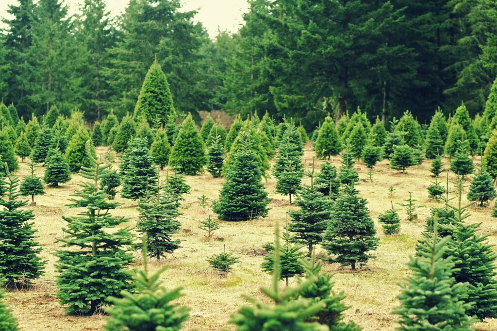 A field of Christmas trees at a Christmas tree farm