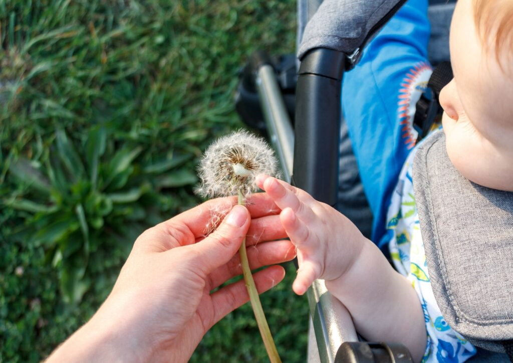 Baby blowing a dandelion may have possible allergies such as hayfever