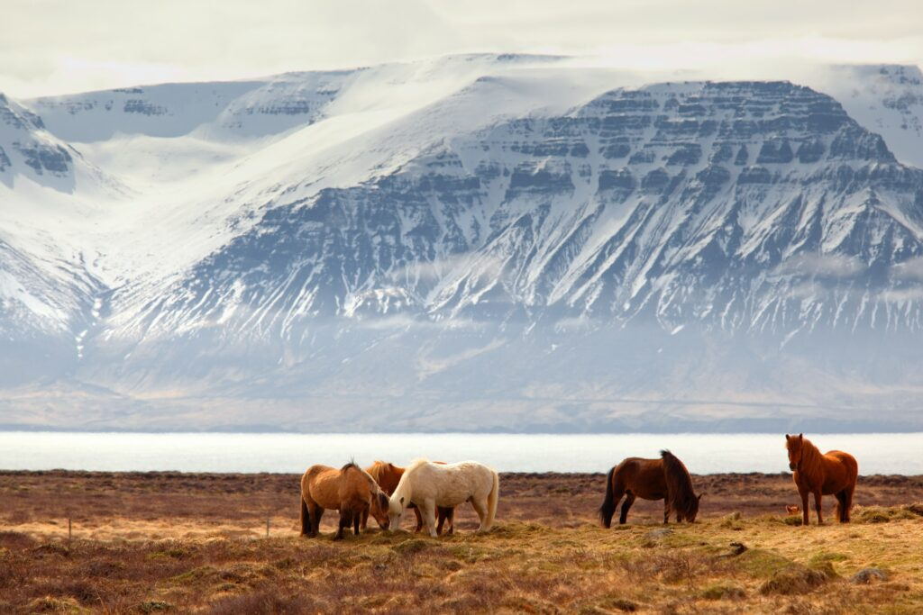 Wild horses graze with a stunning mountain and fjord backdrop in Iceland