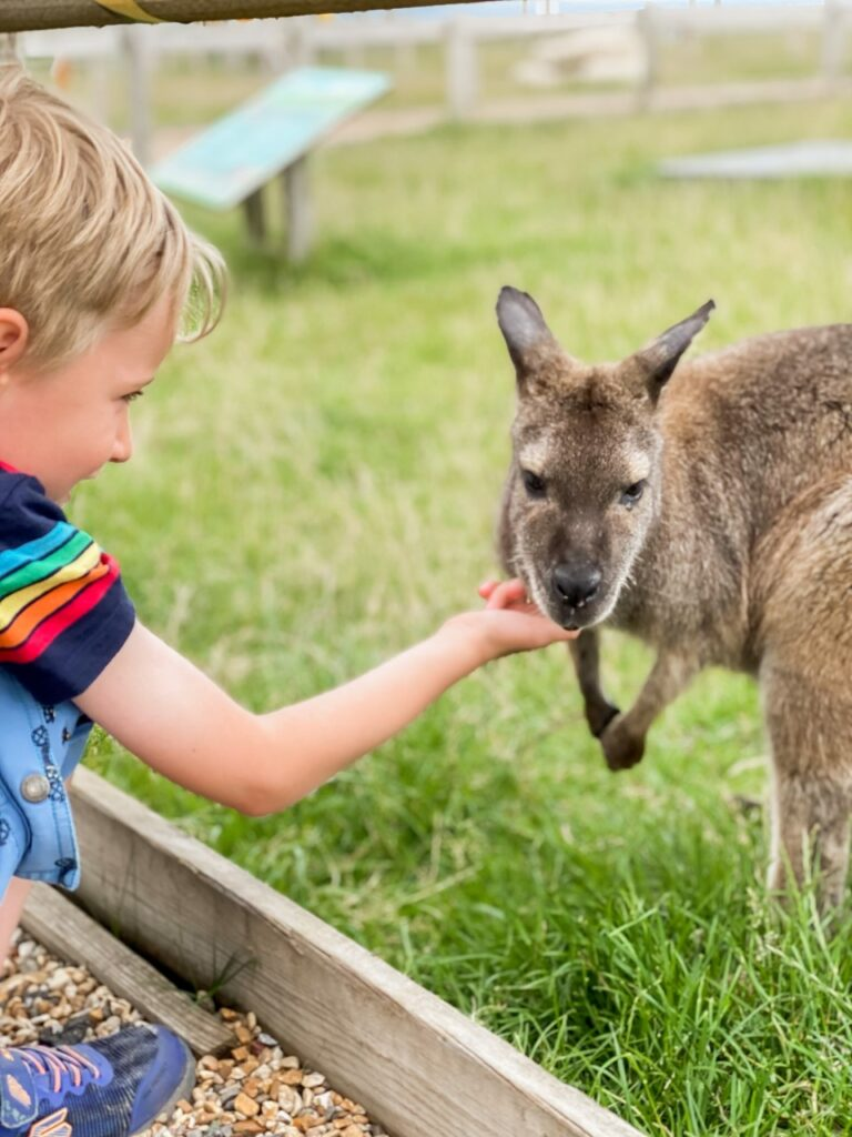 Six year old boy feeds at wallaby over a fence at Tapnell Farm Park